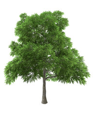 Sassafras green tree isolated on white background