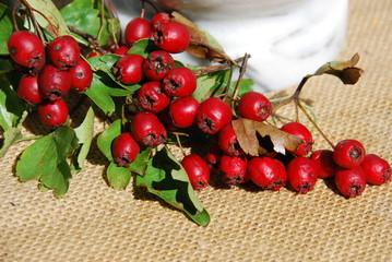 Weißdorne (Crataegus) Beeren Heilpflanze