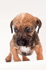 Border terrier puppy bathing