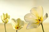 Fototapety tulipan