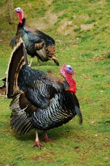 Two Turkeys