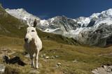 bílý osle ve švýcarských alpách
