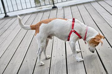 Curious Parson Jack Russell Terrier peeking decking
