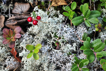 Cowberry and moss.