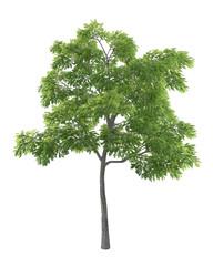 Juglans nigra green tree isolated on white background