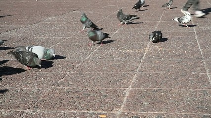 Pigeons in a city park with a child running through them