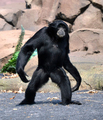 gibbone in posizione eretta