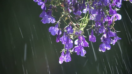 lobelia flowers being sprinkled
