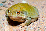 Sonoran Desert Toad 2 poster