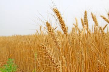 ripe wheat