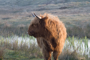 scottish highlander