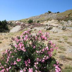 Paysages crétois - Laurier rose
