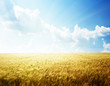 field of barley and sunny day