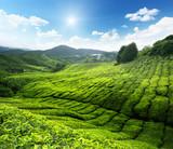 Fototapety Tea plantation Cameron highlands, Malaysia