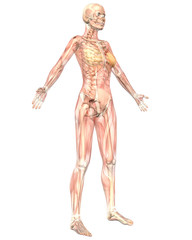 Female Muscular Anatomy Semi Transparent Angled Front View