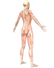 Female Muscular Anatomy Semi Transparent Angled Rear View