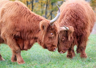 Highland cows fighting