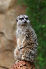 Isolated Meerkat stands on the rock