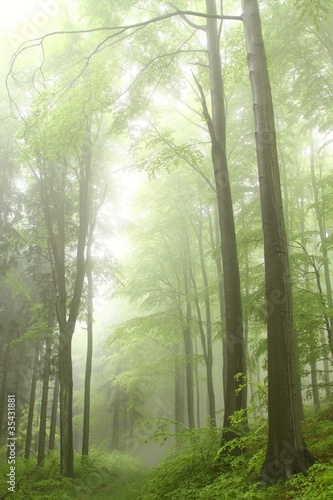 Path in the deciduous forest on a foggy spring morning
