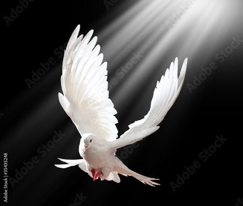 Atna latania White Dove odizolowane na czarno