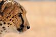 guépard de côté