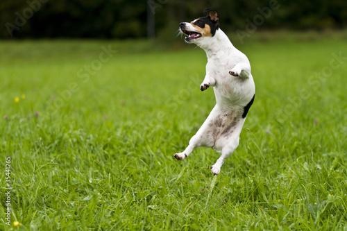Jack-Russel springt