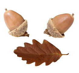 acorn and oak leaf  isolated on white background