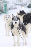 dogs in sled