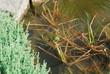 Frog in Pond