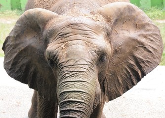 Close-up of the African elephant zoo in Kaohsiung