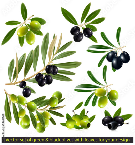 Green and black olives with leaves. vector