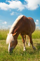 Kasztanowy koń pasie się na łące