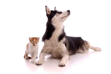 schleichende kleine Katze mit Junghund Husky