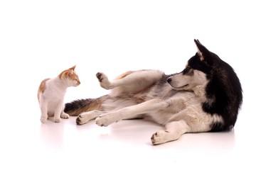 Junghund Husky spielt mit kleiner Katze