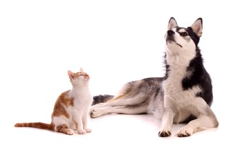 junge Katze mit Junghund Husky hoch schauend