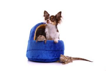 Chihuahua Welpe und Bartagame schaut aus Hundekorb raus