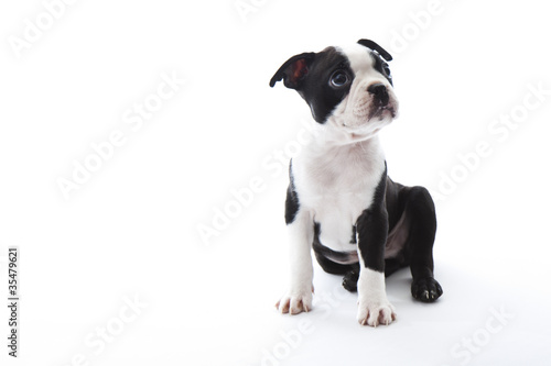 Deurstickers Franse bulldog Boston Terrier