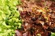 Salat, Kopfsalat, Marktstand, Gemüse, Wochenmarkt