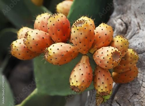 Canvas Cactus kaktusfeige