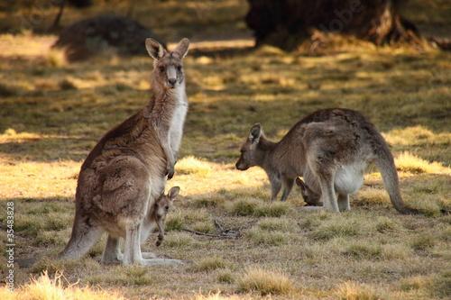 Poster Kangoeroe Mother Wallabies with Joeys