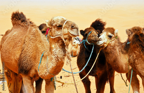 Fotobehang Tunesië Camels in the Sahara