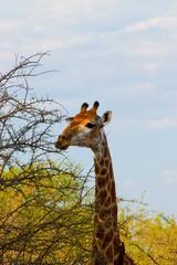 portrait of a giraffe in Kruger Park