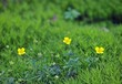 Meadow buttercup.