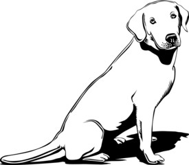 Black and white labrador