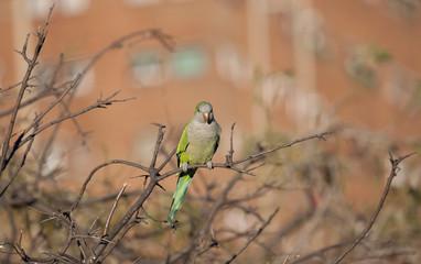 Parrot in Barcelona