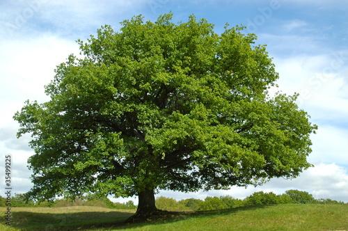 Fototapeten,baum,bäume,eiche,natur