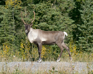 Caribou Senses Danger