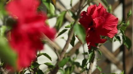 Chinesische Rose - Hibiskus