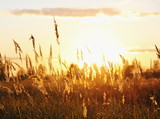 Fototapety Meadow Plants against Sunset in Yellow