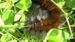 Brombeerspinner Raupe - Macrothylacia rubi